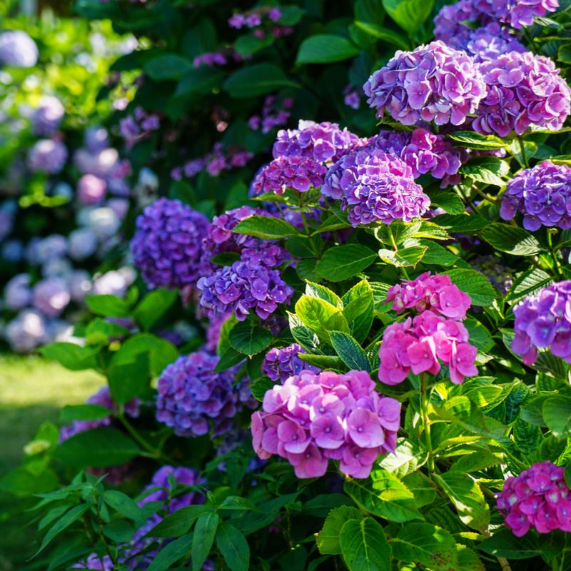 purple hydrangea bush
